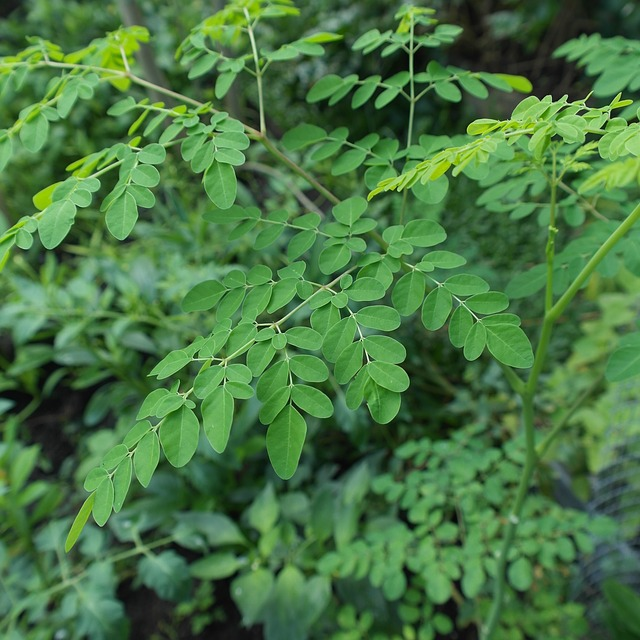 Reap the Benefits of Growing Your Own Moringa Tree Today